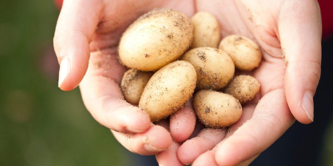 Members Annual Potato Competition